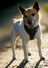 'Zeb' (Jonathan Casey) Tags: dog jack terrier russell rescue pact animal norfolk uk nikon d850 sigma 50mm art f14 sanctuary
