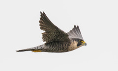 7K8A8323 (rpealit) Tags: scenery wildlife nature state line lookout peregrin falcon bird