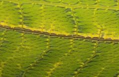 Highways and byways. Mountains and streams. Forests and fields. (John Horstman (itchydogimages, SINOBUG)) Tags: insect macro china yunnan itchydogimages sinobug entomology canon katydid bush cricket orthoptera tettigoniidae pseudophyllinae green