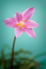 Violet flower (Shumilinus) Tags: 2014 85mmf18 nikond300s flower blooming petal floral blossom botanical violet flowerhead