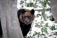 20181021-20181021-20131203-_DSC1899_B-1600-1600-1600blog (Sinh11.) Tags: bear brownbear grizzly grizzlybear wildlife animal wildlifephotographer shiretoko hokkaido japan snow winter facebookpage instagram blogger