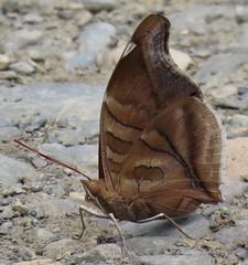 Historis odius (Birdernaturalist) Tags: bolivia butterfly coeini lepidoptera nymphalidae nymphalinae richhoyer