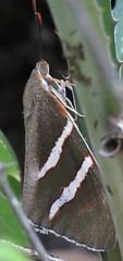 Castnia (Birdernaturalist) Tags: bolivia castniidae lepidoptera moth richhoyer thespidae