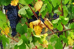 Dolcetto o barbera ? o nebbiolo ? (fotomie2009) Tags: flora uva grape vineyard vine vigna vigneto piemonte piedmont italy italia autumn autunno automne