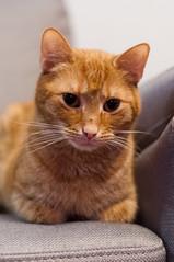 _DSC0204 (Maciej Sahal) Tags: animal cat kot zwierzęta rudy rudykot redcat pets