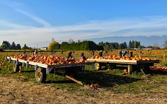 Laity Pumpkin Patch - Pitt Meadows 🎃 (SonjaPetersonPh♡tography) Tags: laitypumpkinpatch laityfarm farm farmanimals fields pumpkins pumpkinpatch hayrides pittmeadows bc canada nikon nikond5300 explore landscape animals tractorpullhayride hayride activities tractorrides attraction scenic scenery mountains people