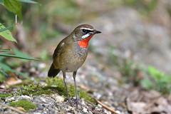 ノゴマ Siberian rubythroat (myu-myu) Tags: nature bird wildbird lusciniacalliope siberianrybythroat nikon d500 野鳥 ノゴマ japan