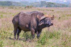 African Buffalo, Lake Nakuru (Luis Granada) Tags: africanbuffalo buffalo kenya nakuru synceruscaffer wildlife safari national park nationalpark lake lakenakuru africa canon animal nature bigfivegame bigfive