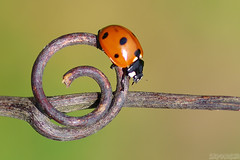 Spiral Path (Vie Lipowski) Tags: ladybug ladybird ladybeetle tendril bug insect beetle garden backyard spiral path wildlife nature macro