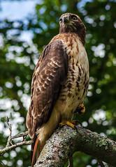 Red-Tailed Hawk Grand Pose (P.Woolley) Tags: buteojamaicensis redtailedhawk hawk redtail minutemannationalpark lincolnmass wildlife wildbirds birdsofprey nikon d7000 nikond7000