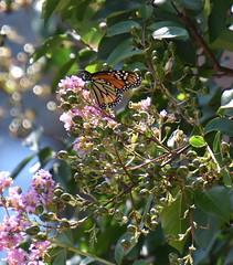 MonarchButterfly. (T's PL) Tags: alongroanokerivergreenway butterfly monarchbutterfly nikond7200 nikon d7200 nikondslr pinkflowers roanokeroanoke va roanokeva roanoke tamron18400 nikontamron tamron18400mmf3563diiivchld tamron18400mmf3563diiivchldmodelb028tamron virginia