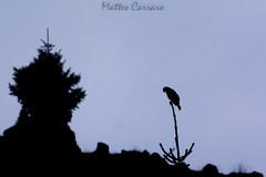 Poiana in controluce (Matteo Carraro) Tags: poiana buzzard dawn alba controluce backlight bird italy italia uccelli wild wildlife
