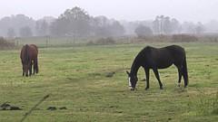 Heimat (Ostfriesland) (Ulrich Scharwächter) Tags: baum wiesen pferde strasedunst herbst