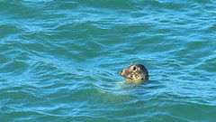 COMMON SEAL (No. 6 The Prisoner) Tags: commonseal seal anglesey northwales