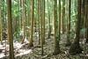 Bangalow Palm (Archontophoenix cunninghamiana) (Poytr) Tags: bangalowpalm archontophoenixcunninghamiana arecaceae archontophoenix portmacquarie bigfella middlebrotherstateforest subtropicalarf subtropicalrainforest palmforest stewartsriver midnorthcoast nsw australia tree forest wood rainforest lichen linospadixmonostachyos palm kendall johnsriver laurieton middlebrothernationalpark pancakelens canonefs24mmf28stm arfp nswrfp qrfp
