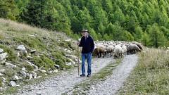 Fidèle au poste (François Magne) Tags: berger bergère brebis troupeau estive alpage pastoraloup transhumance scene pastorale fz 300 lumix loup couchade