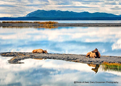 Elk Resting (Gary Grossman) Tags: elk wild wildlife yellowstone lake reflections cow nature landscape wyoming autumn fall shoal spit garygrossmanphotography naturephotography wildlifephotography landscapephotography yellowstonelake yellowstonenationalpark nationalpark ynp