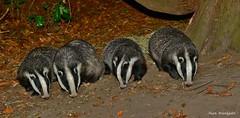 Badger family - Oct 2018 - Buckinghamshire (Alan Woodgate) Tags: wild badgers family meles uk