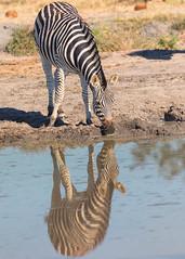 A Cool Drink on a Hot Day (mclcbooks) Tags: zebra zebras reflection reflections pond water wateringhole animal wildlife okavangodelta botswana africa safari splashcamp