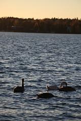 IMG_7880 (pekka.jarvelainen) Tags: joutsen swan vene auringonlasku sunset