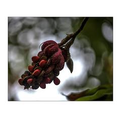 DSC_2135 (imagerme) Tags: fruit magnolia tree pod flower autumn