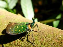 Lanternbug - Pyrops whiteheadi (1) (FayTr) Tags: jungle borneo malaysia tropicalforest rainforest
