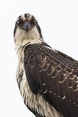 Staring Contest (Ronda Hamm) Tags: 100400mkii bird birdofprey california canon7dii morrobay eyes highkey nature osprey portrait stare wildlife