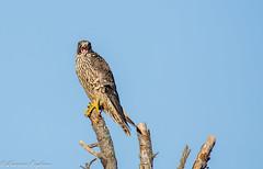 Peregrine falcon - Bombay Hook, Delmarva Peninsula, Delaware (superpugger) Tags: birds falcon peregrinefalcon peregrine falcons birdsofprey delmarvapeninsula autumn