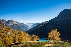 It's all yellow... (2500teu) Tags: ospiziobernina kantongraubünden schweiz ch poschiavo berge mountains autumn herbst lärchen engadin palü gletscher