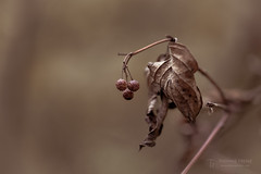 The Last Berries (Thomas TRENZ) Tags: autumn beeren berries herbst leafs thomastrenz blätter braun brown death forgotten leben life lost natur nature tod vergessen