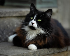 Lucy (hehaden) Tags: cat blackandwhite tuxedo semilonghair stone step garden