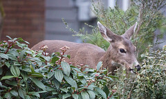 FY3 (beelzebub2011) Tags: canada britishcolumbia northvancouver street deer wildlife