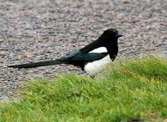 IMG_5008 (monika.carrie) Tags: monikacarrie magpie wildlife scotland aberdeen