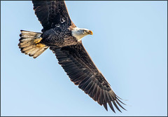 Eagle Flyover #0102 (MurrayH77) Tags: md conowingo dam susquehanna riverwildlife bird eagle canon 7dii sigma 150600c
