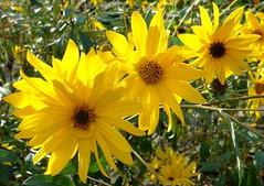 Der letzte Sommertag 2018 (BrigitteE1) Tags: sommer summer sonnenblume blumen gelb yellow sunflower flowers grün green sommertag summerday gärten sonne sun licht light