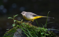 Grey Wagtail (Gary McHale) Tags: moss rock grey wagtail river colne west yorkshire gary mchale