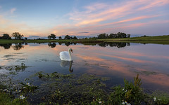 Serene (cliveg004) Tags: worcestershire sunset lake swan reflections daisy rural landscape countryside flower water sky pink serene floating nikon d5200 challengegamewinner