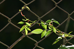 climbing the fence (EllaH52) Tags: plant vine fence climbing green symmetry lines simplicity