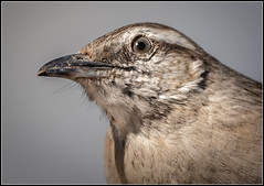 Calandria (Totugj) Tags: calandria aves argentinas nikon d7500 sigma 150600mm fauna birds uccelli pájaros buenos aires reserva ecológica costanera sur argentina