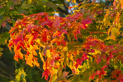 Maple Leaves During Golden Hour (melmark44) Tags: leaves mapleleaves leaf multicolor autumn goldenhour magichour light backlight sidelight frontlight wrap red orange green yellow compression dof depthoffield highiso