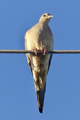 """Mourning Dove on Wire at Prison Cemetery in Yuma, Arizona on October 7, 2018 (Ramona Pioneer Girl) Tags: perchedbird perched birdonwire birdonawire sky blue gray sun sunny day light sunlight daylight curious mourningdove dove birding arizona yumaarizona panasonic lumix camera photograph photography lens f28 picture pictures kodak """"kodak moment"""" kodakmoment potd photo trend trending current flickr nature natural moment moments candid usa 2018 water street historic town country east county clouds fun hobby interest interests ramona california photooftheday photographs fz300"""