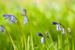 _DSC0957 (gael.lebrun56) Tags: fleur colza rape beez flower macro insect