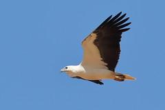 White-bellied Sea- eagle (cosmos38 - the real one) Tags: carnarvon australia westernaustralia haliaeetusleucogaster whitebelliedseaeagle seaeagle eagle