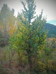 Olmo común (Ulmus minor) (quintanAopio) Tags: árbol silvestre caderechas bureba burgos autóctono