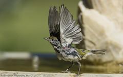 """Freedom"" says Chestnut Sided Warbler... (Raddykrish Photography) Tags: chestnutsidedwarbler warbler fremont backyard"