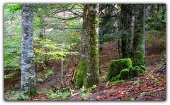 Hayedo de Irati (jesus.de.leon1) Tags: irati hayedo otoño autumn pirineo navarra pirineonavarro nafarroa verde