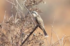 376A9798 (bon97900) Tags: 2018 birds blackearedcuckoo gluepot2526thaug2018 gluepotreserve rivermurray riverland southaustralia