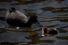 Conversations (Snorkle-suz) Tags: coots birds babybird water ripples love nurture nature thelagoon manawatu newzealand nz aotearoa canoneos600d canoneosrebelt3i canoneoskissx5 canonefs55250mmf456isstm 55250mm