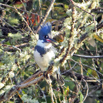 Belted Kingfisher thumbnail