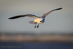 Floating... (Kevin James54) Tags: nikond850 tamron150600mm wilmington animals avian bird fortfisher gull kevingianniniphotocom